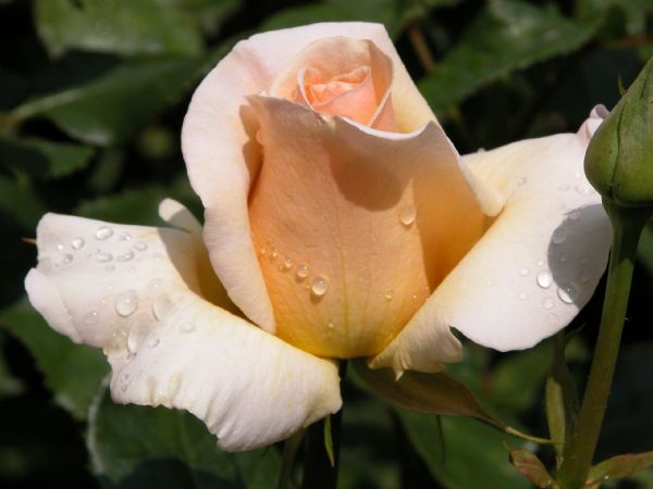 Ladds Rose