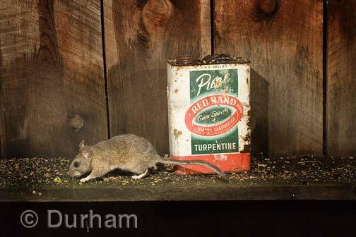 Rat Lowdown