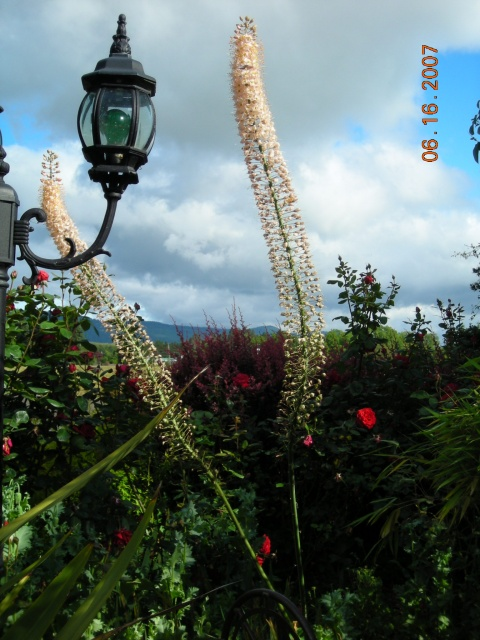 Very Tall Foxtail Lilies!