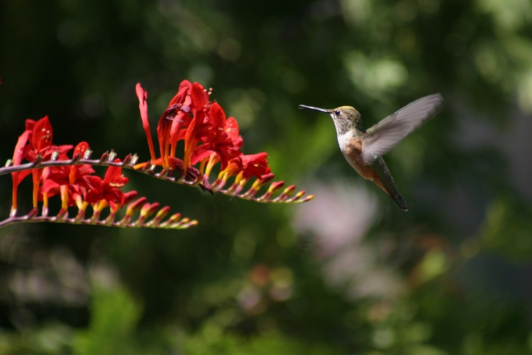 Crocosmia & Humming Bird