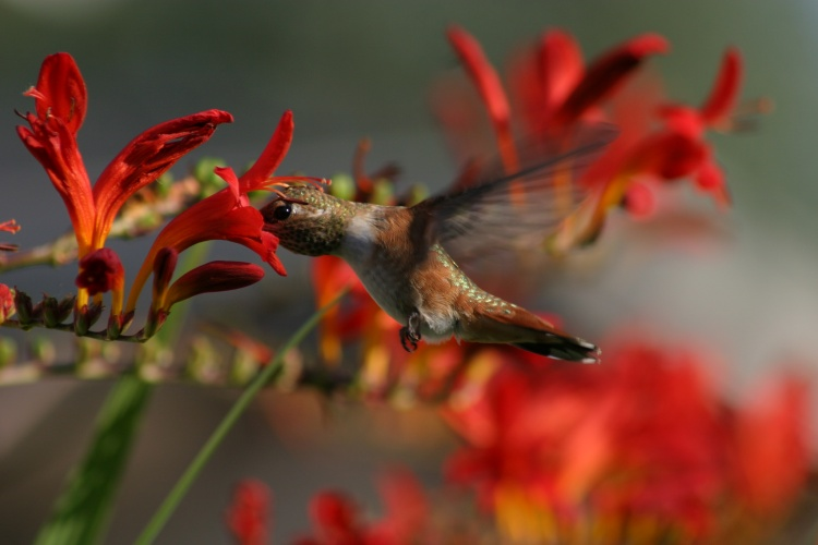 Humming Bird ( Original )