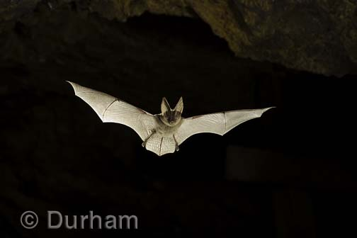 Townsend big-eared bat