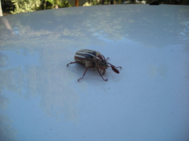 Hissing Beetle