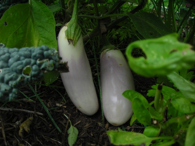 2 Lovely Eggplants...