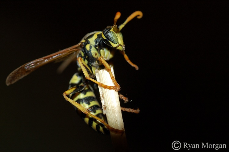 Paper Wasp #2