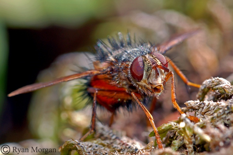 Beelike Tachinid Fly