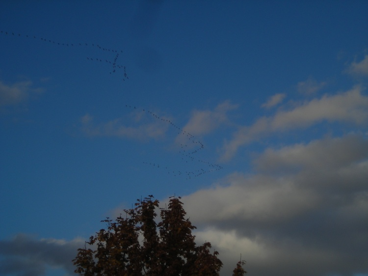 Canada Geese Over Willamette Mission State Park