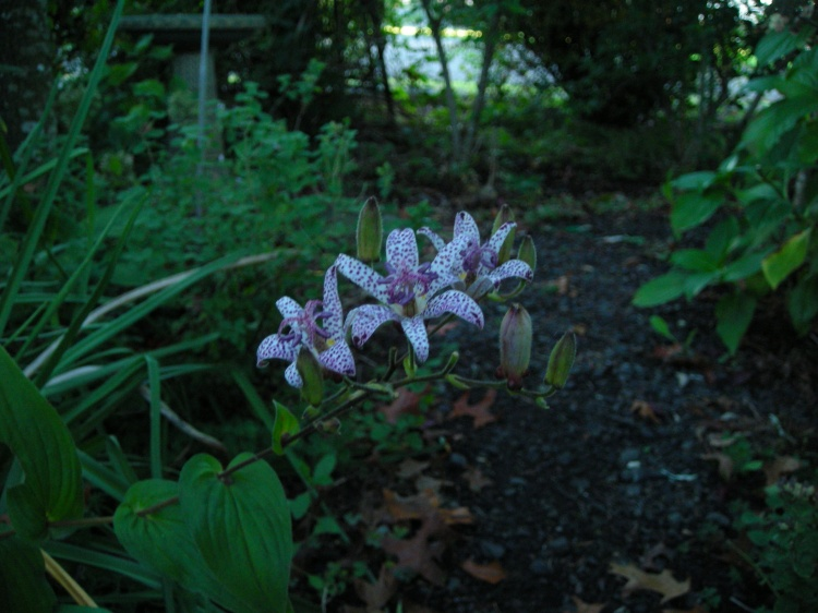 Toad Lily...