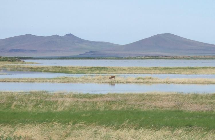 Wetland Deer