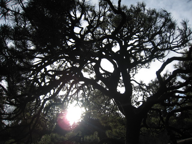Pine Tree, Japanese Garden