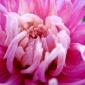 anemone?