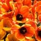Orange Jubilee
