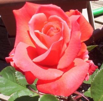 wyrd's rose