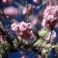 Toledo Blossoms