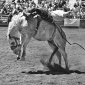 Bronc In B & W