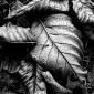 Alder Leaves