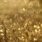 Dandelions