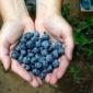 Sauvie Island Blueberries