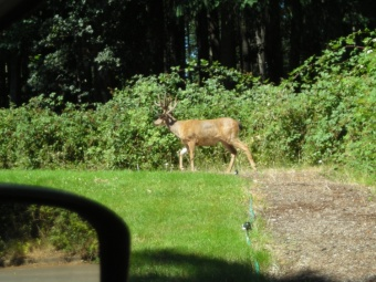 Buck with Velvet Antlers...