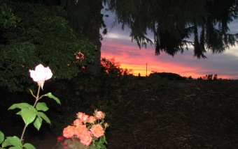 Sunset and Roses