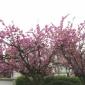 Cherry Blossoms on Burnside