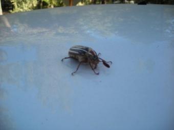 Hissing Beetle