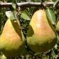 Good Bartlett Pears