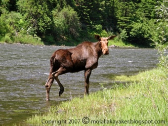 Oregon Moose