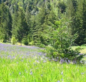 Field of Camas Lilies II