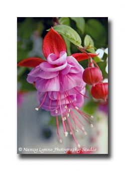 Fuchsia Up Close