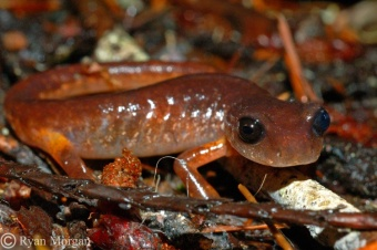 Oregon Ensatina