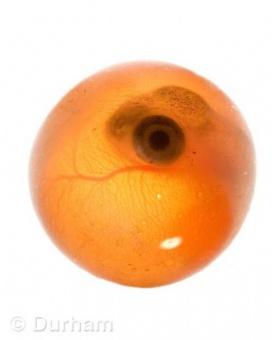 Coho Salmon Egg