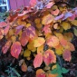 Witch Hazel...